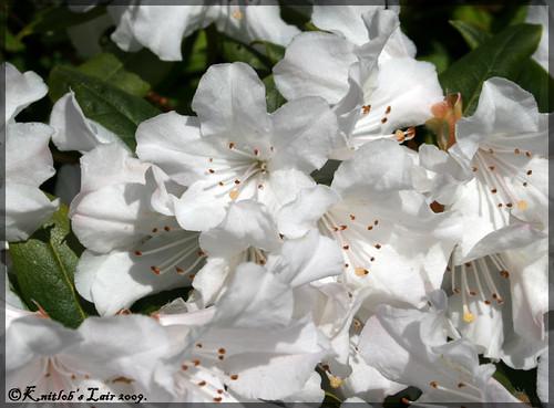 kukkia pensaissa