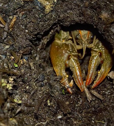 Garden Crayfish