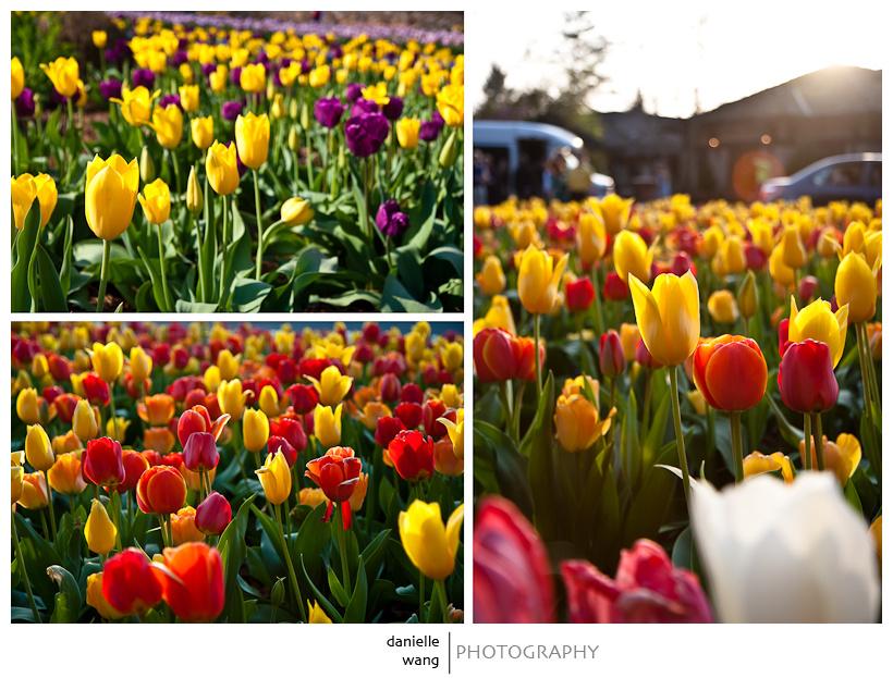 Biltmore Tulips-1