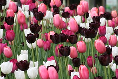 Millennium Park Tulips (lynne_b) Tags: flowers people chicago sign race illinois tulips walk crowd cancer may run fundraiser breastcancer 5k participants networkofstrength walktoenpower