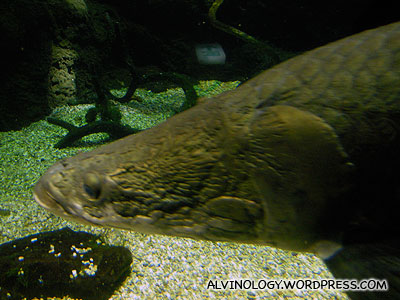Close-up shot of one of the giant Amazon fish