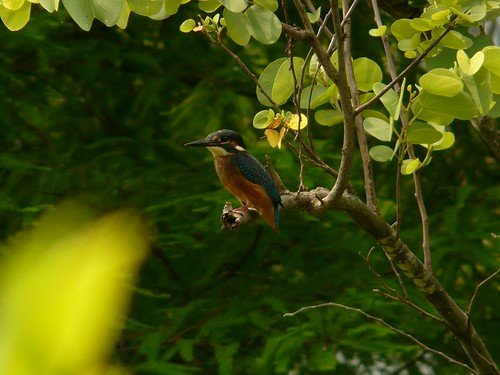 Common Kingfisher (Alcedo atthis) - 翠鳥