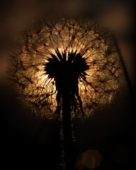 Day 81/365 (KBDT FOTO) Tags: 2 sun canon 8 backlighting spores dandilions 2470mm project365 40d day81365 kbdtfoto