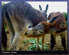 Dé lait...ctation! (Dominique Dumont Willette) Tags: âne gers lislejourdain asineriedembazac