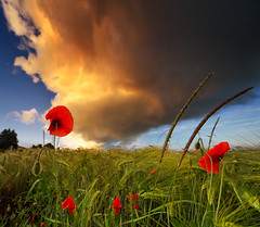 Red Poppies And A Dramatic Sunset Sky (Philipp Klinger Photography) Tags: blue light sunset shadow red sky orange cloud sun flower color colour tree green rot luz nature water field grass lines barley rain yellow clouds germany landscape deutschland droplets drops nikon colorful europa europe glow dof hessen angle bokeh pov natur wide feld dramatic sigma drop full gelb poppy poppies huge format colourful grn blau dslr fx landschaft philipp sigma1224mm farbig bunt acre farben hesse mohn badnauheim klinger gerste topf350 topf750 fullformat d700 artofimages bestcapturesaoi