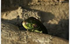 DSC08483_ ADIOS MUNDO CRUEL 2 (JESSENIA VLEZ BONILLAPHOTOGRAPHY) Tags: en verde ecuador iguana manta reptil sudamrica manab casadeplaya trepando santamarianita