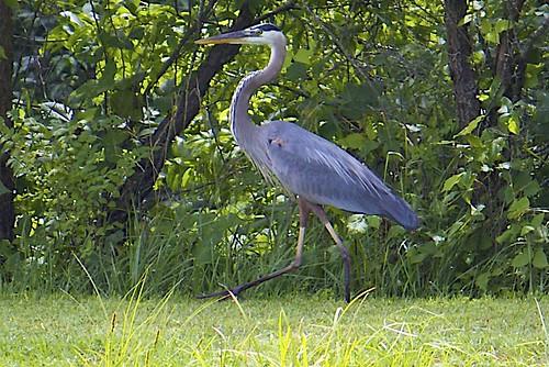 Great Blue Heron Walking on Dam
