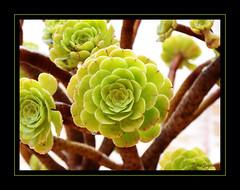 Verode (Aeonium canariense) (Javi-rz©Photography) Tags: verde planta casa kodak canarias nombre islas aeonium verode jayra canariense z1275 jayra09