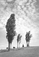 At the Mercy of Summer Breeze (UW Digital Collections) Tags: trees clouds wind windblown naturephotography artphotography kyokoike