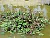 IMG_0560a (kawilson) Tags: california usa fruit garden pod sanmarino lotus huntington chinese seed nelumbo nelumbium