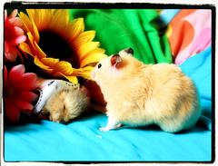 Bye bye, Pucio... ~ Migotka (pyza*) Tags: boy pet love animal out heaven you good hamster moved xxx muppet miss gentle syrian hammie pucio puchatek chomik