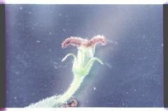 26  . 080927-1598-010300 (h35312) Tags: 26  aspera ulmaceae planch thunb urticales   aphananthe      0809271598010300