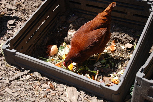 Chickens eating and turning up worms in the compost bin