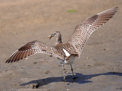 Maarico Galego / Whimbrel (http://jvverde.birdsby.me/v2/) Tags: bird portugal nature birds inflight natural wildlife natureza birdsinportugal avesemportugal pssaro aves ave pssaros oiseau bir vogel pjaro avifauna uccello whimbrel selvagem  lintu fo limcolas  numeniusphaeopus   maaricogalego madr emvoo     limcola onwild emliberdade aoarlivre  nanatureza iiencontroavesnoesturiodocvado uccelloaves