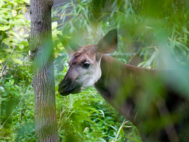 Okapi, Bronx Zoo
