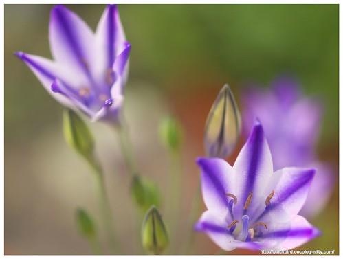 Spring Star 110604 #02
