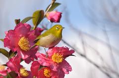 メジロ / Japanese White-eye (Y. Naraki) Tags: pink flower bird japan 日本 サザンカ camelliasasanqua 花 japanesewhiteeye 鳥 ピンク メジロ