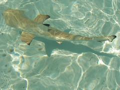 Madhiriguraidhoo, Lhaviyani Atoll VI (gi@como) Tags: sea island shark sand mare maldives palmbeach sabbia isola atoll maldive squalo atollo lhaviyani