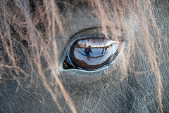 The man who photograph the horse's eye (greg..!) Tags: horses horse brown macro reflection eye beautiful de french cheval eyes nikon photographer greg oeil yeux m