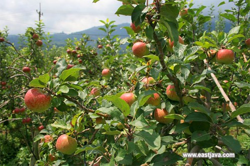Apple Agro Tourism - Pasuruan - East Java