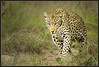 The Matriarch (hvhe1) Tags: africa nature animal cat southafrica bravo searchthebest wildlife leopard bigcat hunter timbavati tandatula specnature specanimal animalkingdomelite hvhe1 hennievanheerden adoublefave fantasticwildlife vosplusbellesphotos