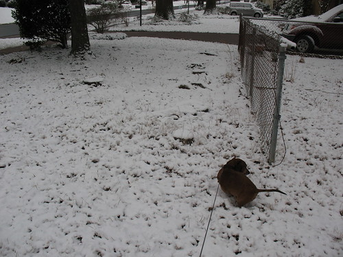 Dachsunds Will Poop in Snow