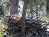 Bald Eagle 20090121