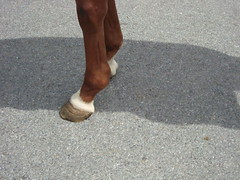 Ac4H- Skin Tight Jeans (Another Chance for Horses) Tags: horse chestnut thoroughbred ac4hcom
