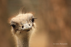 Ostrich (family Struthionidae)...^_^..CUTE! (Ian Cuison Photography) Tags: family cute bird animal canon photography zoo photo bigbird ostrich seoul pinoy seoulgrandpark struthionidae canon40d vosplusbellesphotos iancuison