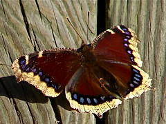 Backyard visitor - Mourning Cloak Butterfly (Laramie_Coyote) Tags: friends nature butterfly insect bravo explore inspire soe bestofflickr naturesfinest blueribbonwinner cherryontop supershot bej butterflycolor butterflyblues platinumphoto citrit overtheexcellence theperfectphotographer goldstaraward dragongoldaward photographersgonewild ubej saariys lizasenchantingphotogarden btglevel1
