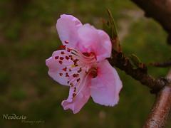 eftali gzeli / Peach Beauty (zlem Ulu) Tags: pink flower spring peach bahar pembe fotografca eftaliiei