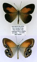 Argyronympha rubianensis
