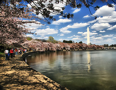 Blossoms at the Tidal Basin (` Toshio ') Tags: pink flowers sky flower reflection tree clouds cherry washingtondc duck dc washington petals districtofcolumbia branch shadows artistic branches blossoms perspective wideangle tourists sidewalk cherryblossoms ripples washingtonmonument soe hdr cherryblossomfestival toshio highdynamicresolution superaplus aplusphoto platinumheartaward ninohvisit