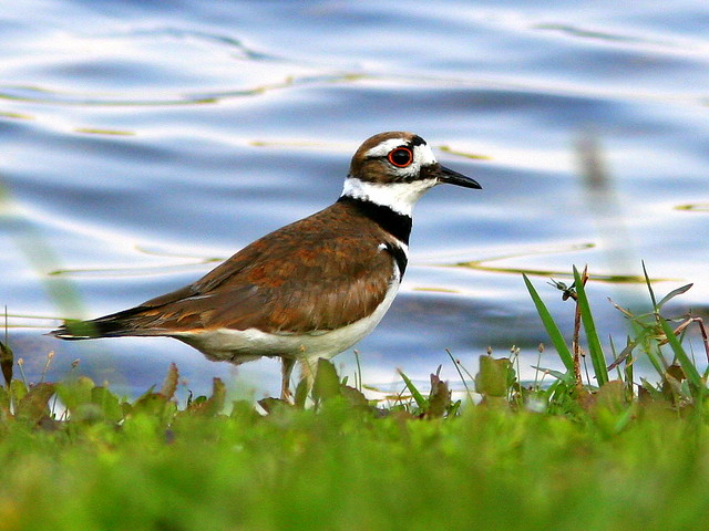 Killdeer in Back Yard 20090412