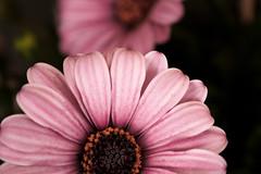 lavender sunrise