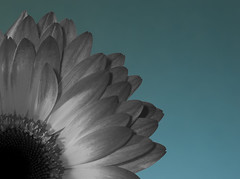 Flower on Blue (hoho0482) Tags: blackandwhite flower macro gerbera colourpop colorpop macromondays
