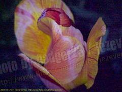 Tulipa ( Tulip ) 2004-04-17 371 Home-Spring (Badger 23 / jezevec) Tags: flower 2004 fleur spring blossom indianapolis flor indiana tulip bloom april  plantae blume fiore tulipa blooming bloem  liliaceae  20040417   liliales jezevec  kvt angiosperms monocots vbr  wabigon badger23 lilioideae