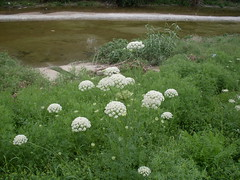 Queen Anne's Lace at Duck Creek