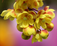 Yellow Berberis (Mukumbura) Tags: pink flowers red macro yellow garden tulips cluster micro thorns berberis canonef100mmf28macrousm theunforgettablepictures excellentsflowers slikpro700dx awesomeblossoms saariysqualitypictures