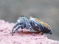 IMGP1966 (SakuraGaSaku) Tags: nature spider jumping phidippus redbacked johnsoni
