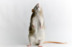 Bob (KristyR929) Tags: pet 1025fav rat dumbo bob fancy