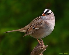 White-crowned Sparrow / Bruant à couronne blanche