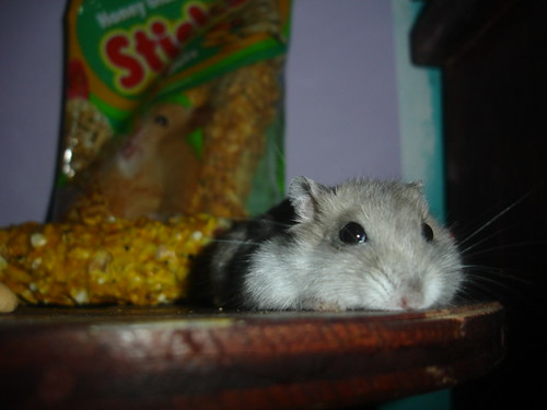 Hello there! I'm a hamster and ZzZzZ
