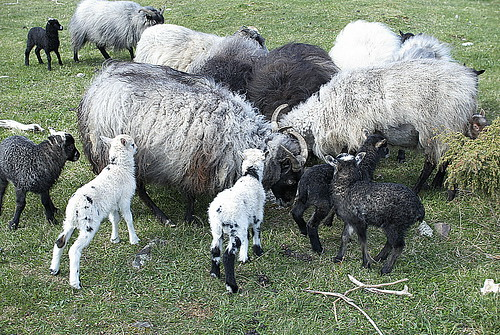 most ancient sheep breeds