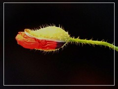 Poppy snake (nontoxic) :-) (Anniko 1996) Tags: flickrlovers