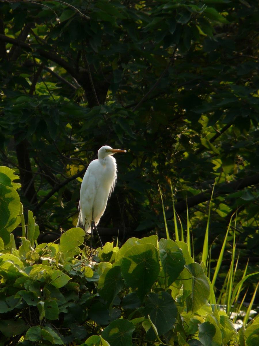 Intermediate Egret (Mesophoyx intermedia) - 中白鷺
