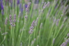 dc lavender nationalarboretum
