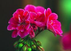 Pink Geraniums (RedheadedWoman) Tags: pink flower green bokeh geranium beautifulbokeh nikond80 fabulousflowers amazingbokeh theunforgettablepictures flowersbudsandblossoms exquisiteflowers awesomeblossoms