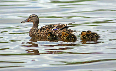 mumma duck and ducklings