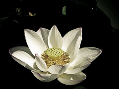 Lotus (ddsnet) Tags: plants gallery lotus sony cybershot aquatic soe aquaticplants        plants  aquatic hx1 photoshavebeeningallery